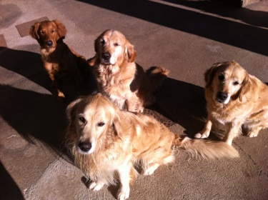 GOLDEN RETRIVERS BRESCIA